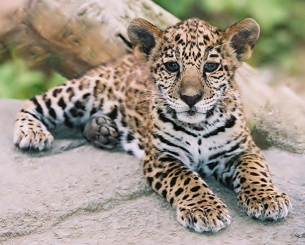 Animal Wallpaper Images Cutest Jaguar Ever Paul Wyman Flickr