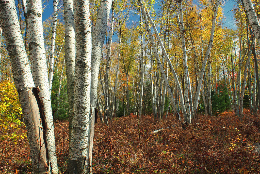 Fall Birch Tree Wallpaper Marion Brooks Natural Area 2 White Birches Betula