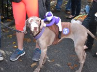 Weimeraner race-dog costume | Terms of Use: Please ...