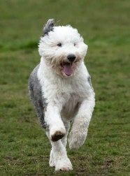 A sheepdog with one ear up runs forward. Action shot with 2 paws off the ground. Green grass background.