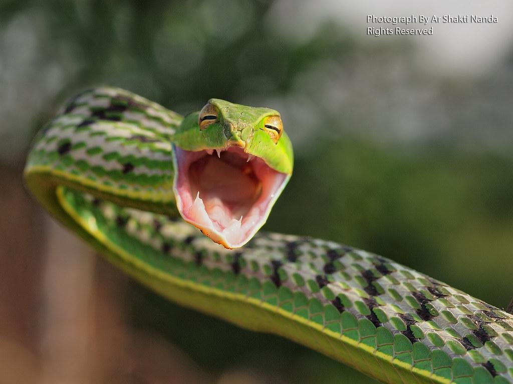 3d Wallpaper Widescreen Green Vine Snake Ahaetulla Nasuta Bhubaneswar 24 12