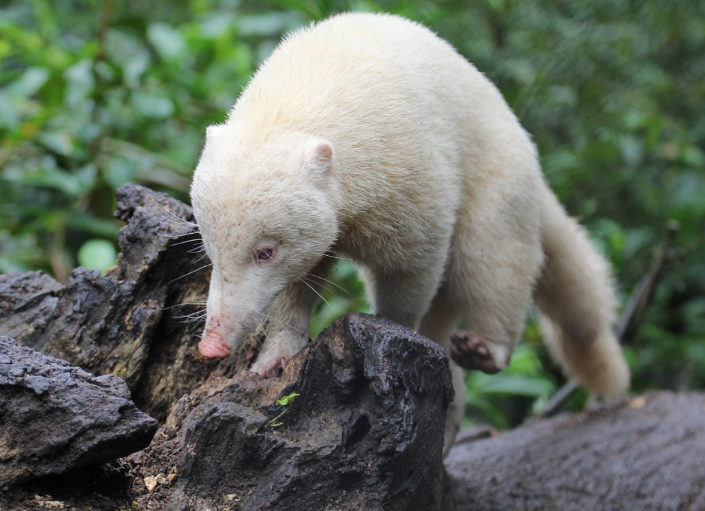 albino coatimundi _u003c Coatimundi \/ Nasua nasua\/ Snookum bear u003e_ - video consent form