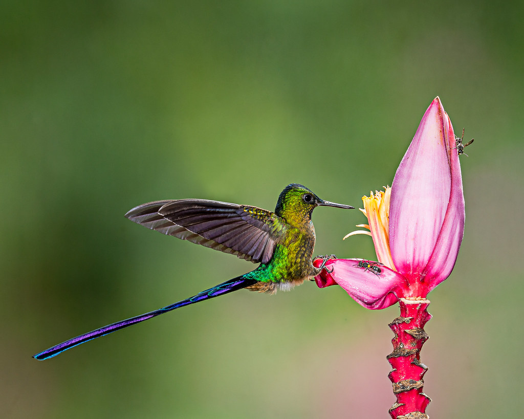 3d Wallpaper Singapore Bird Bees And Banana Flower A Violet Tailed Sylph