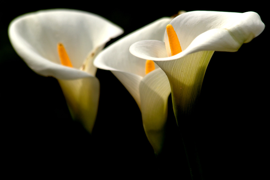 Wallpaper Black And White Flowers Calas Alcatraces O Cartuchos Zantedeschia Manuel M V
