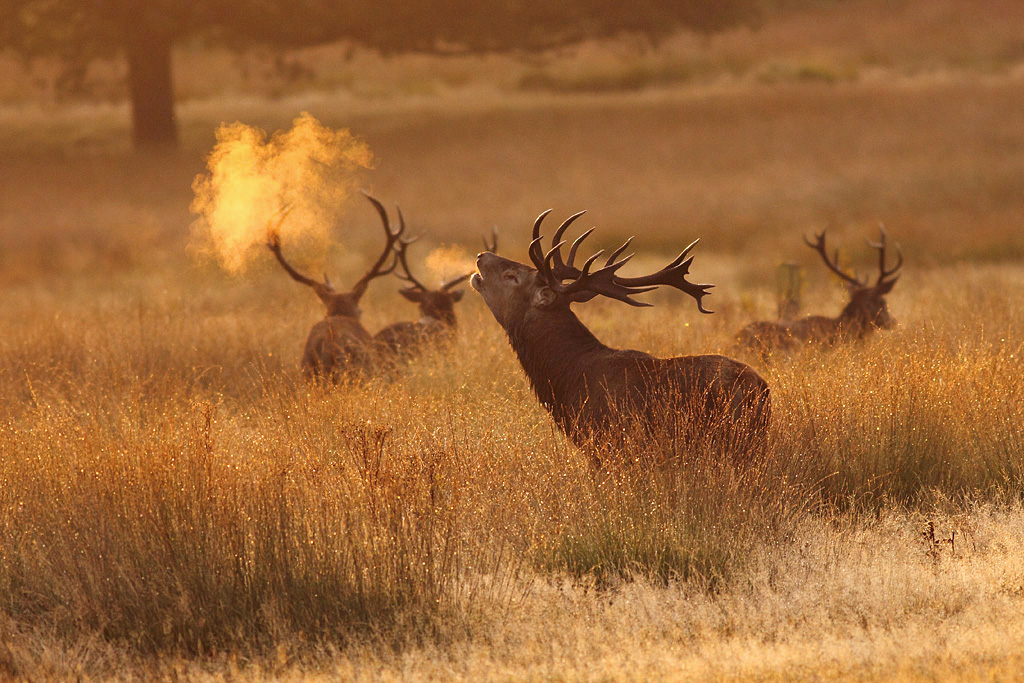 Very Beautiful Wallpaper 3d Red Deer Stag Richmond Park Surrey Explored A