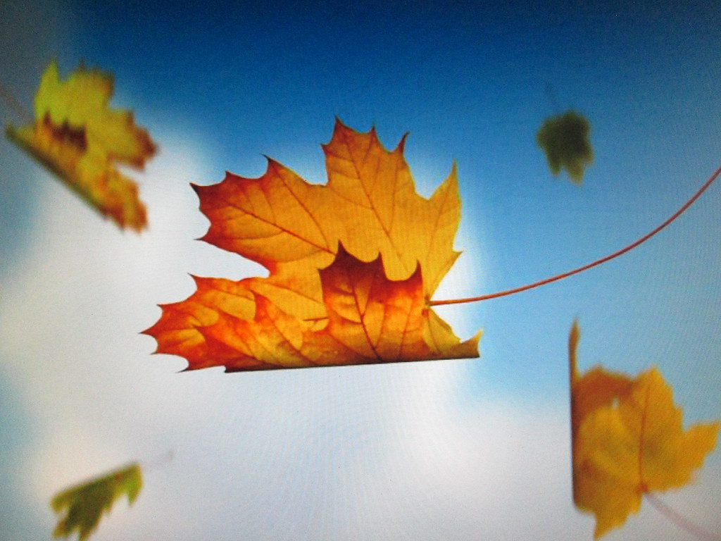 Fall Leaves Falling Wallpaper Flying On The Wind The Maple Leaves Fly On The Wind With