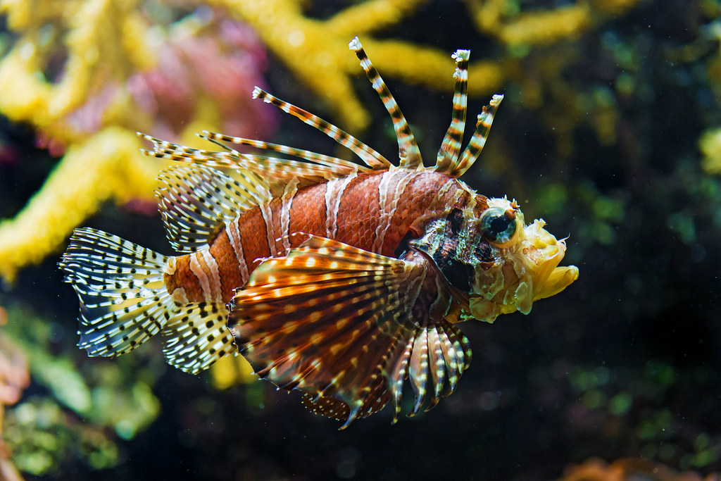 Nice 3d Wallpaper Nice Lionfish Now Here S A Lionfish These Animals Are