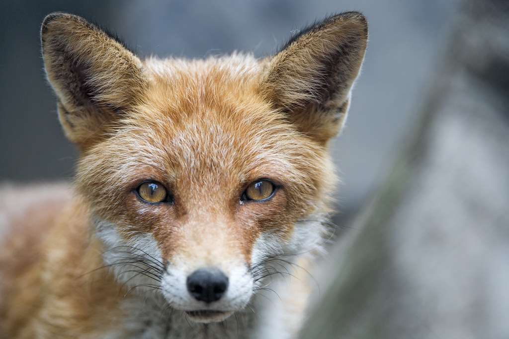 Cute Wallpapers Images For Mobile Cute Fox Looking At Me I Really Like This Portrait Of A