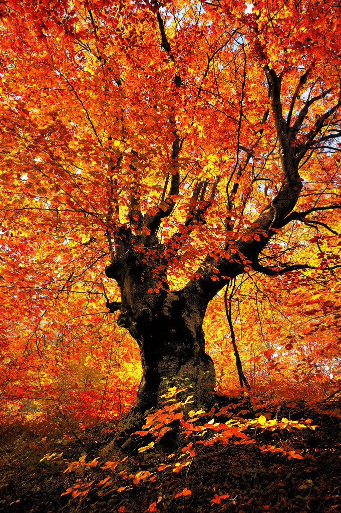 Fall Paintings Wallpaper Tree This Tree Has Fire Within Sunsword Amp Moonsabre