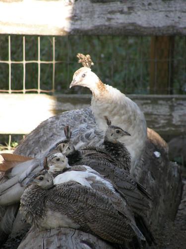 雌孔雀和婴儿