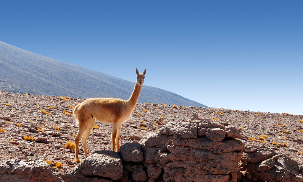 Wild Animals 3d Wallpapers A Vicu 241 A In The Atacama Desert Chile The Vicu 241 A Is One