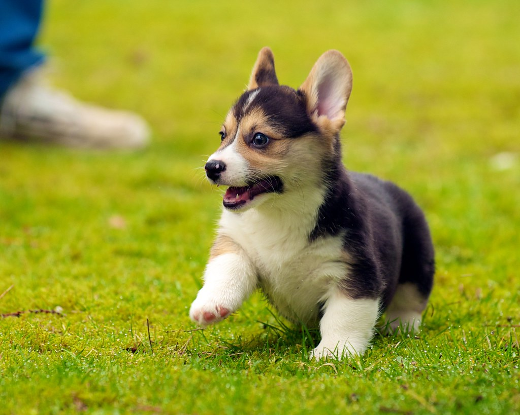 Cute Wallpapers Of Kittens And Puppies Corgi Puppies 28 Daniel Stockman Flickr
