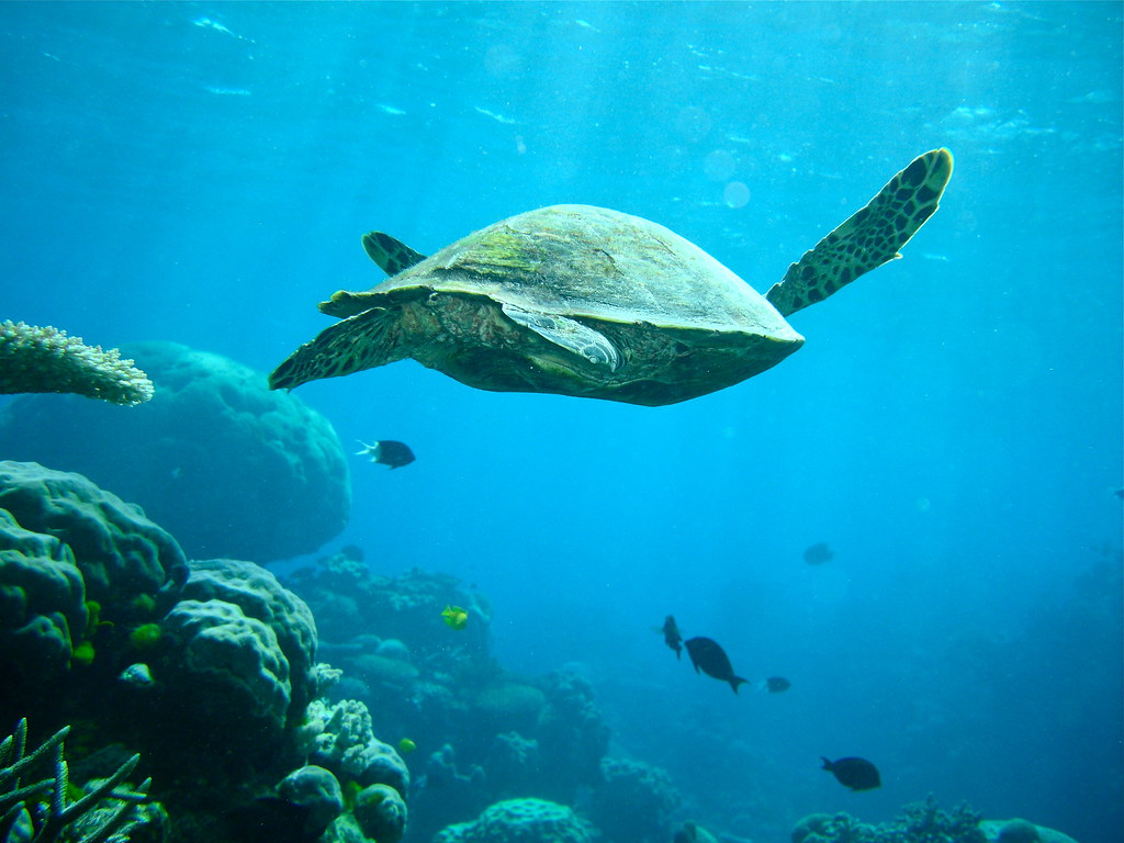 Coral Reef Wallpaper Hd Sea Turtle On The Great Barrier Reef Gjhamley Flickr