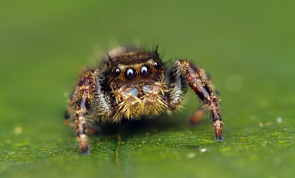 Black And White Wallpaper Hd Phidippus Audax ♀ A Cute Little Jumping Spider With A