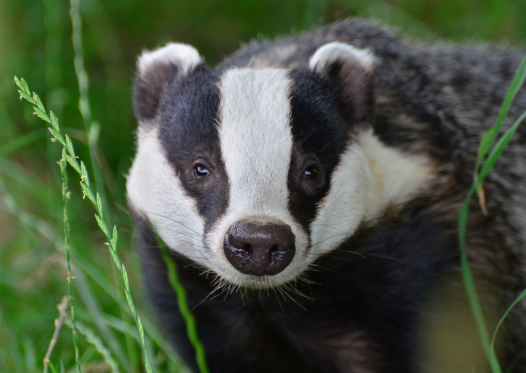 Cute Baby Animal Pictures Wallpapers British Badger Meles Meles Full Face British Wildlife