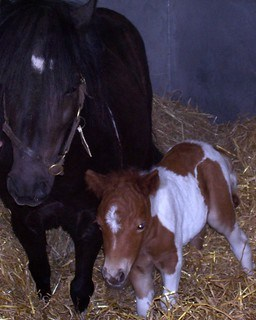 Miniature Horses are Working Well for the Guide Horse Foundation