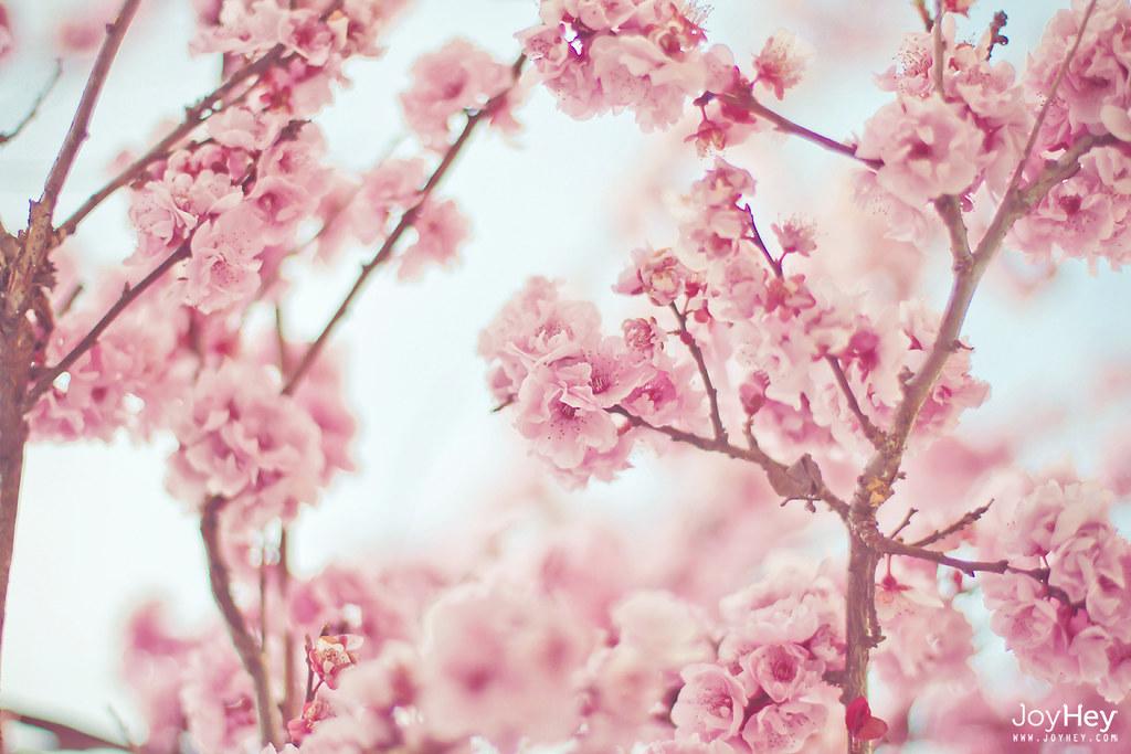 Beautiful Animated Girl Wallpapers Pink Sakura Sometimes I Dream In Pink Shop Facebook