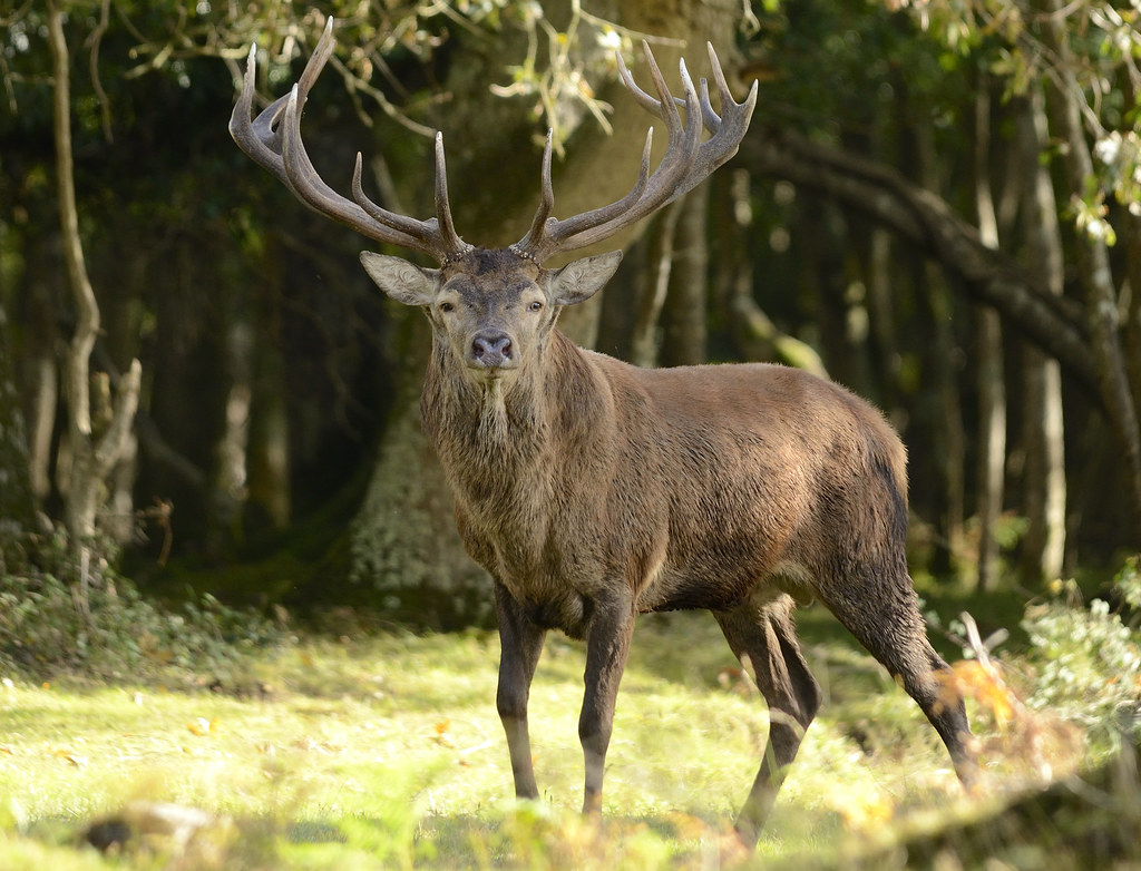 3d Summer Wallpaper Red Deer Stag In The New Forest Sadly With The Last