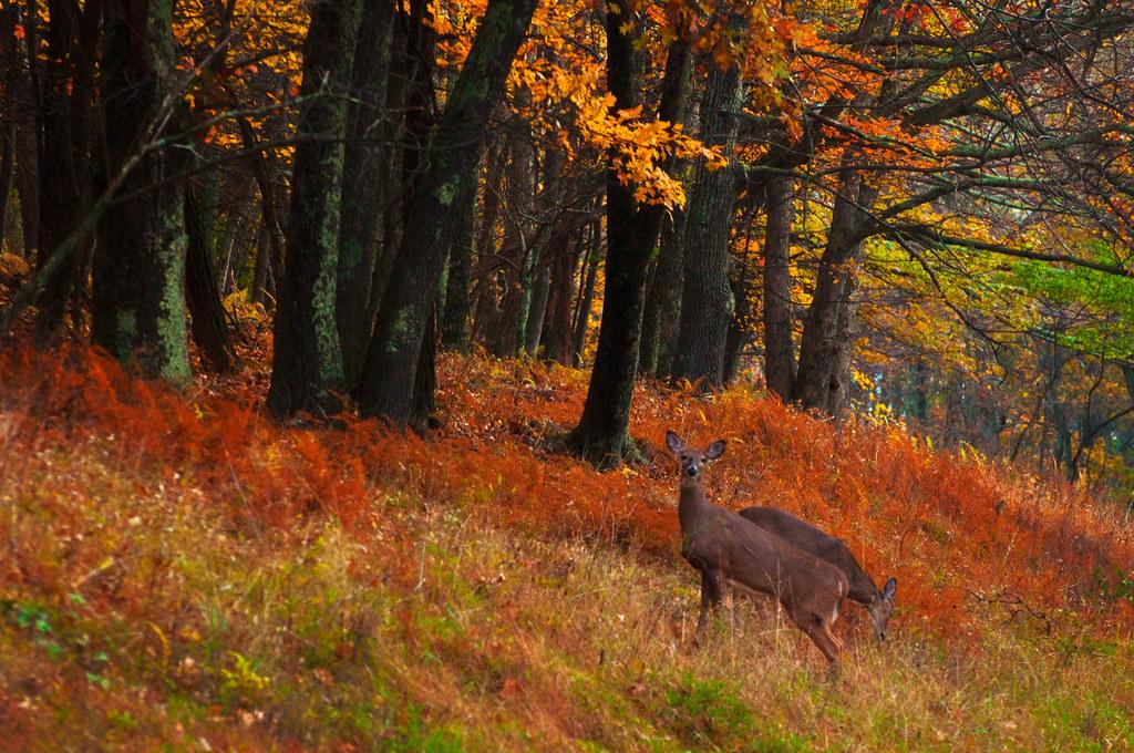 Fall Leaves Dancing Wallpaper Whitetail Deer Grazing Along Skyline Drive Autumn Scene