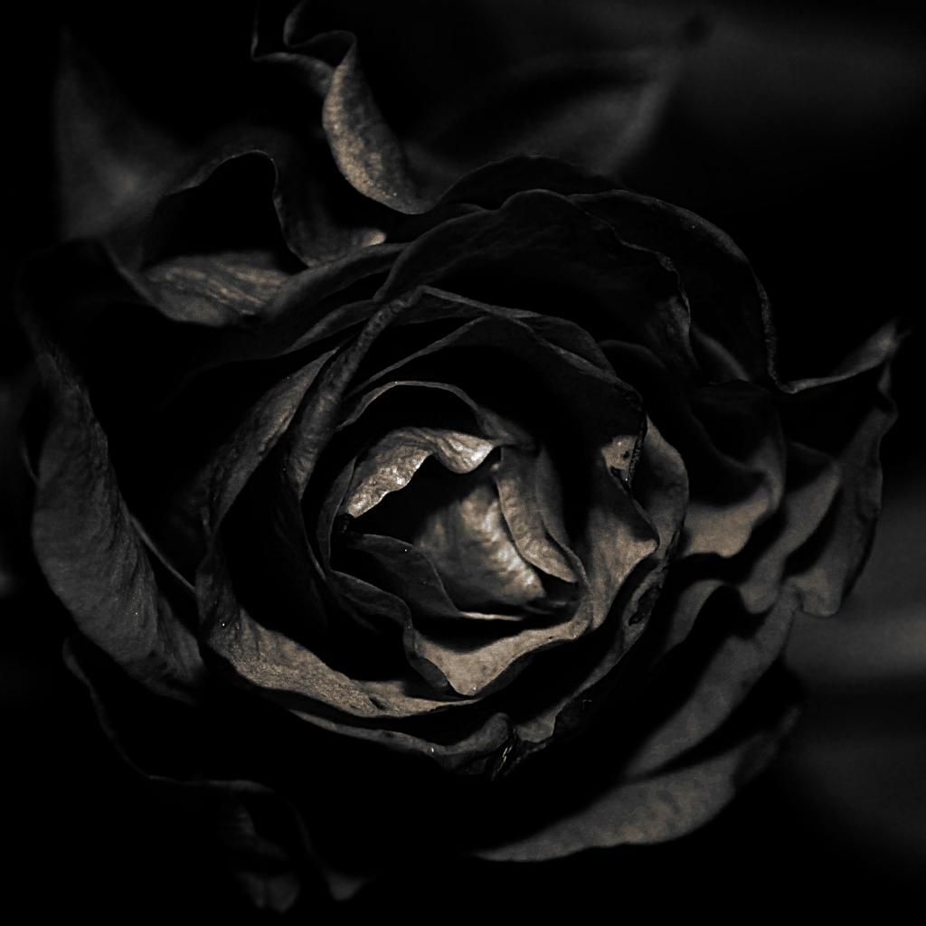 Black And White Flower Wallpaper Schwarze Rose Black Rose Mit Neuem Blitz In Der