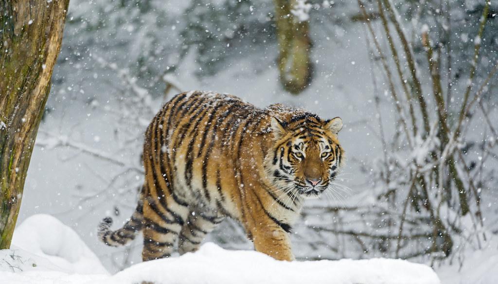 Free 3d Snow Falling Wallpaper Tiger Walking In The Snow Liska Walking Under A Heavy