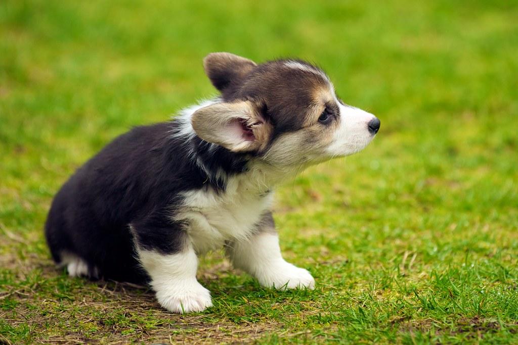 3d Wallpaper Of Dogs Corgi Puppies 41 Daniel Stockman Flickr