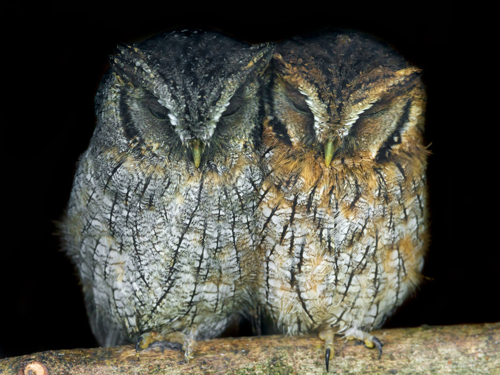 Cute Camera Wallpaper Two Small Owls Sleeping Together Last Picture Of This