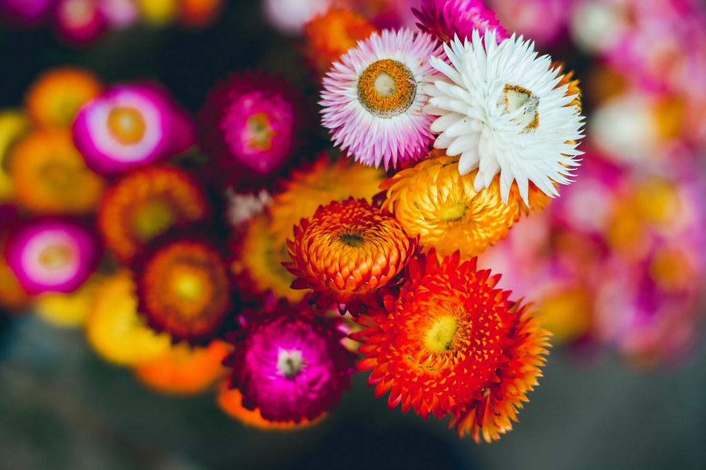 Wallpaper Of Water Fall Everlasting Flowers Helichrysum Bracteatum Cv Monstrosum
