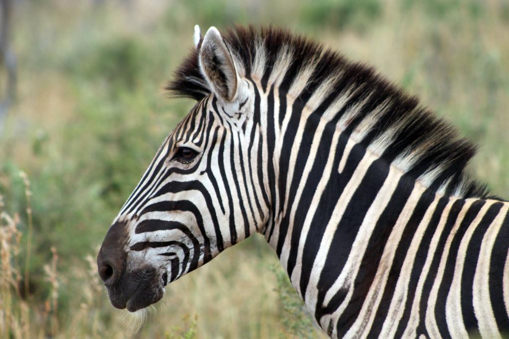 Wallpaper Mobile Hd Cute Zebra Head Flowcomm Flickr