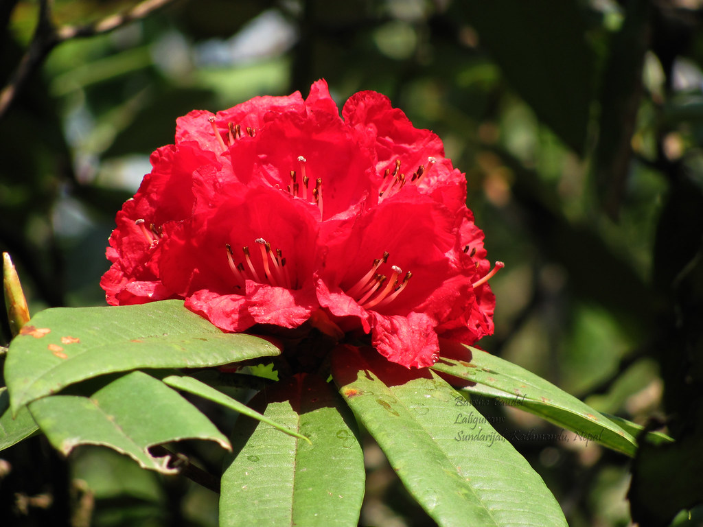 Free 3d Flower Wallpaper Laligurans Rhododendron Nepal S National Flower Flickr