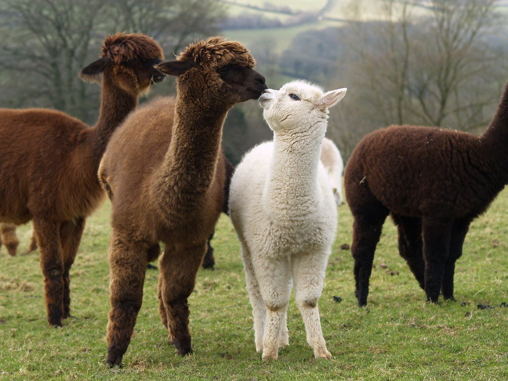 Cute Child Couple Wallpaper Hd Alpaca Kiss Alpaca Bonding A Dam And Her Cria Karen