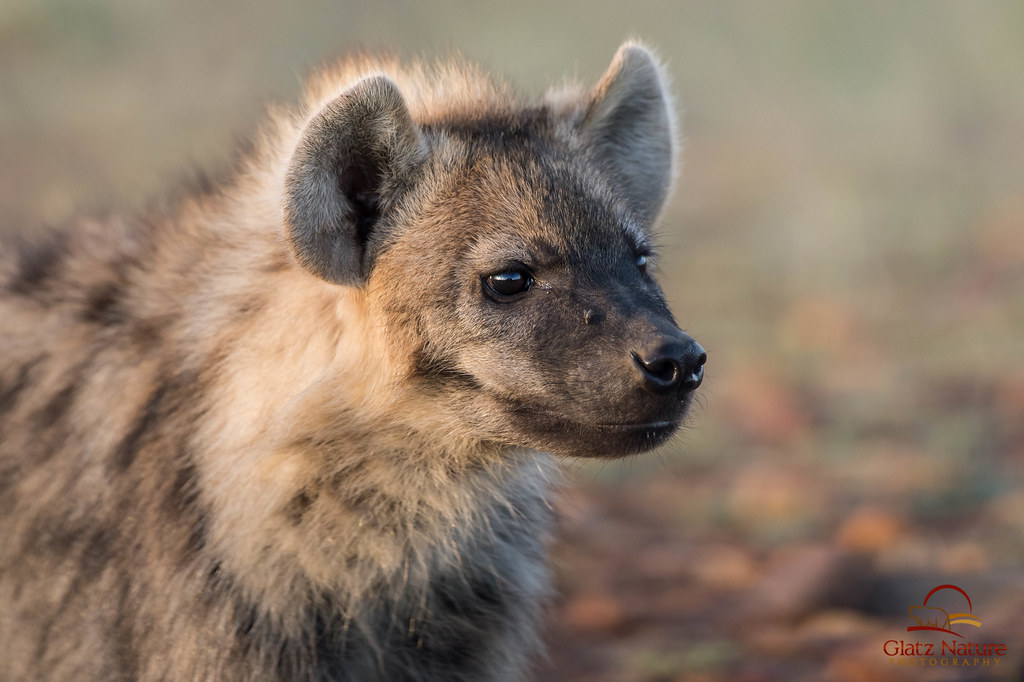 Very Beautiful Wallpaper 3d Face To Face With Juvenile Spotted Hyena Closeup Of
