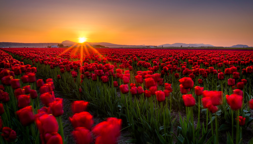 New 3d Wallpaper For Pc Tulip Fields I Took A Trip Over Into Washington Earlier