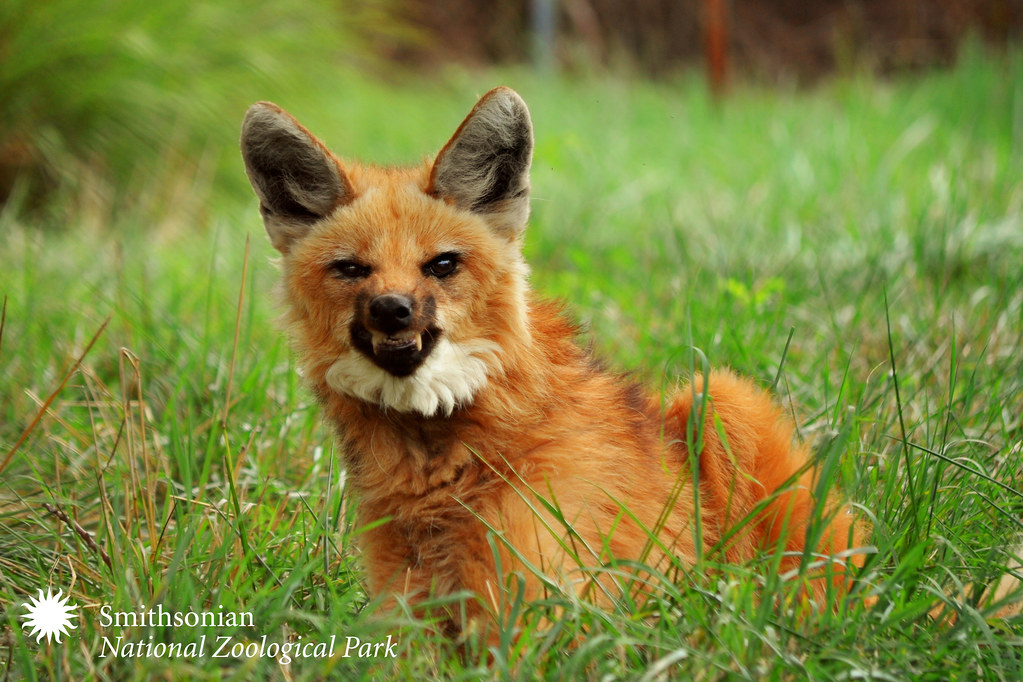 Lion Wallpaper In 3d Maned Wolf Photo Smithsonian S National Zoo