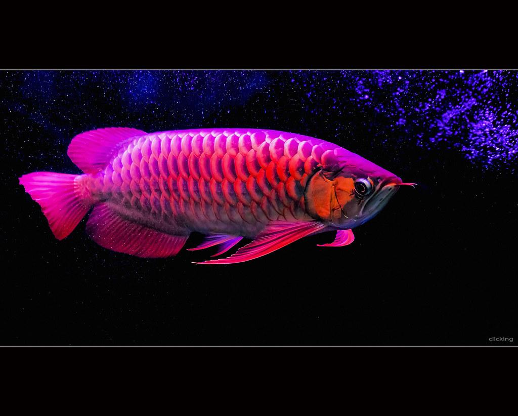 Neon Wallpaper 3d Super Red Asian Arowana Fish Dzung Viet Le Flickr