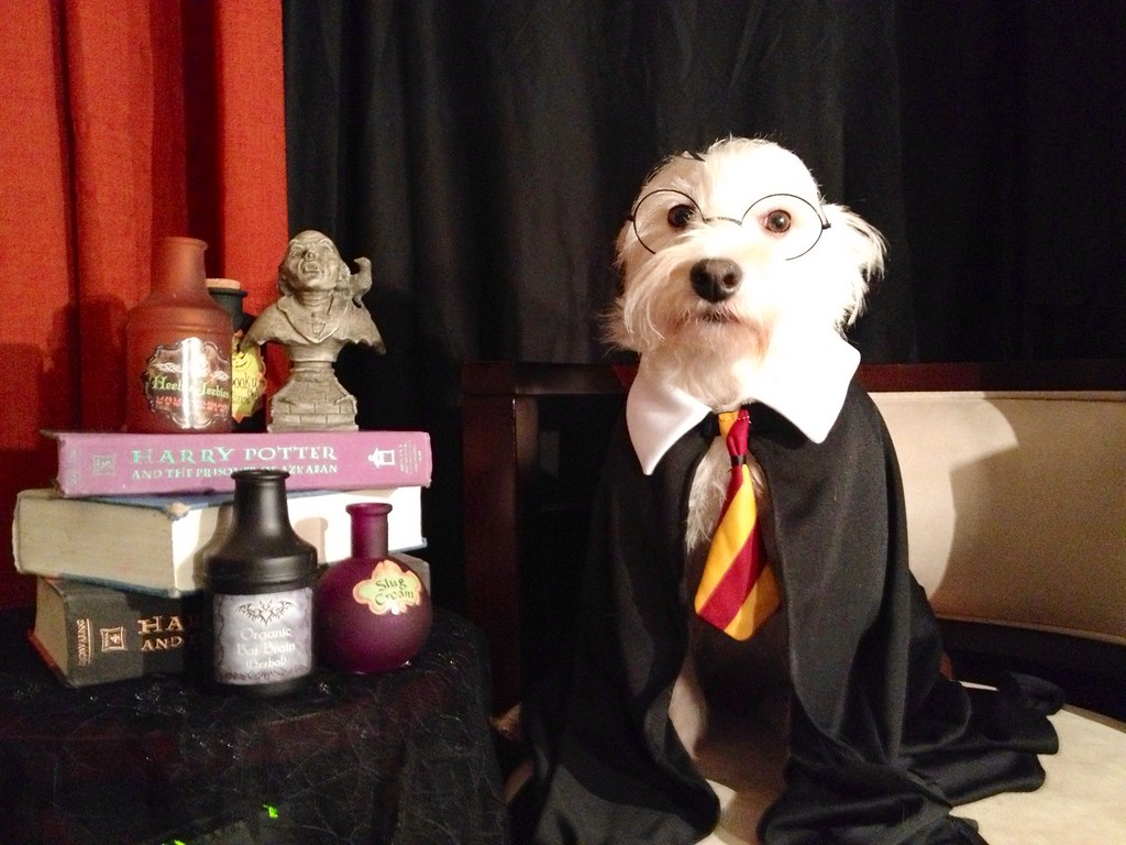 Cute Halloween Cat Wallpaper Dog Looks Like Harry Potter Terms Of Use Please