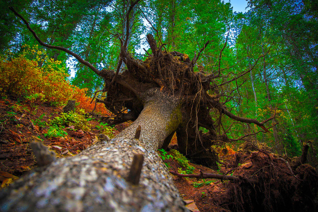 World Map 3d Wallpaper Fallen Tree Root Ball Fallen Tree Root Ball Flickr