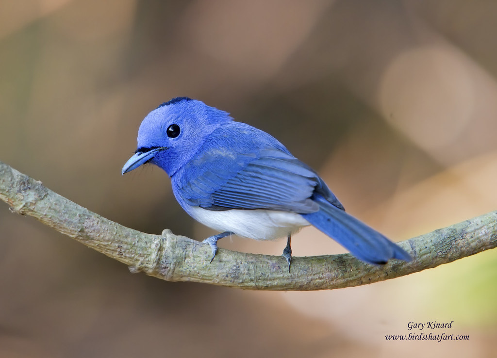 Black And White Wallpaper Pictures Black Naped Monarch Or Black Naped Blue Flycatcher Hypoth