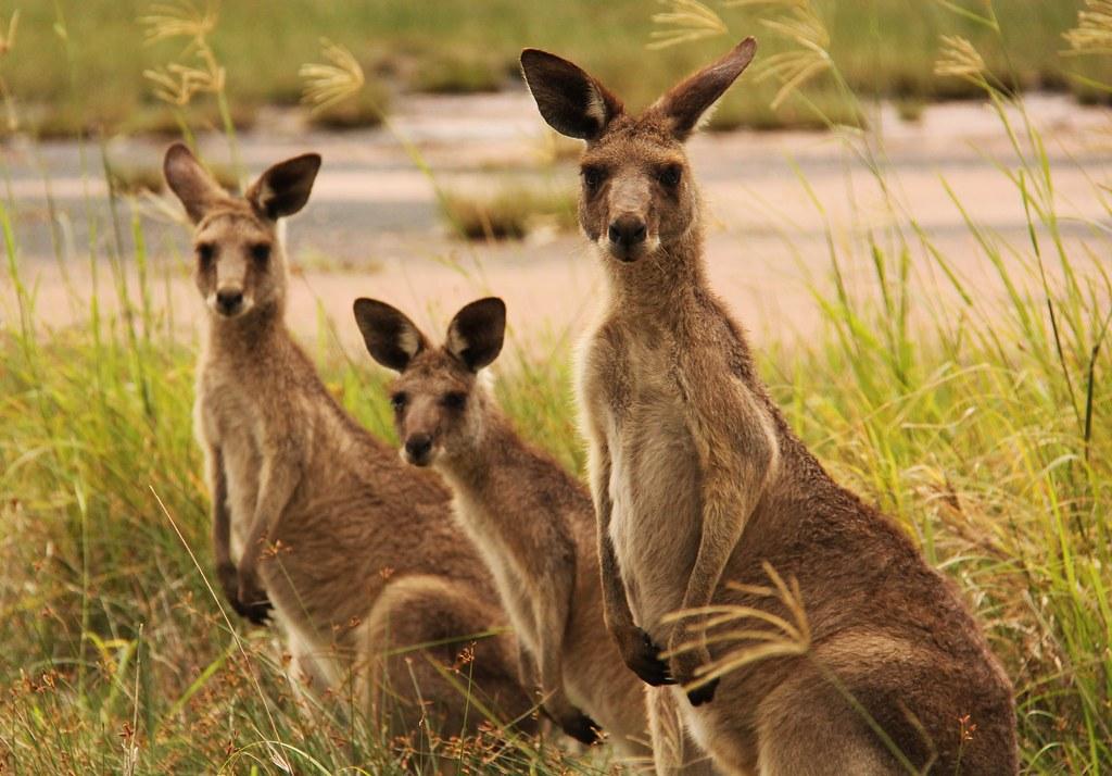 Full Hd Wallpaper Couple Kangaroo Family These Beautiful Animals Live A Block