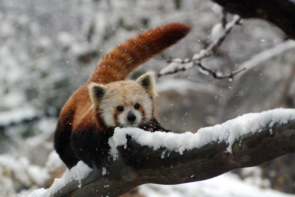 3d All Animal Wallpaper Red Panda In The Snow Courtney Janney Smithsonian S