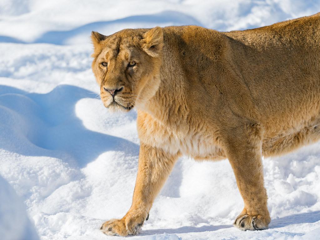 New 3d Desktop Wallpaper Hd 16 Joy Walking In The Snow The Mother Lion Walking In The