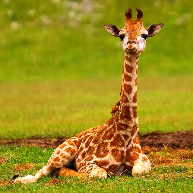 Cute Baby And Mother Wallpaper Baby Giraffe Baby Giraffe Babyanimals Wildlife Conse