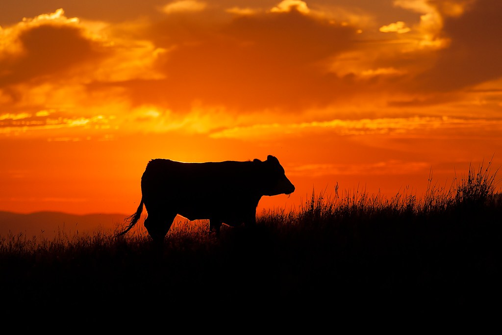 Wallpaper 3d 2016 Sunset Cow This Cow Heading Up The Hill During The
