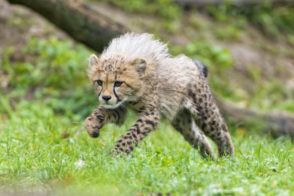 Super Cute Baby Cats Wallpaper Jumping Cheetah Cub That Was Luck Since Cheetahs Are So
