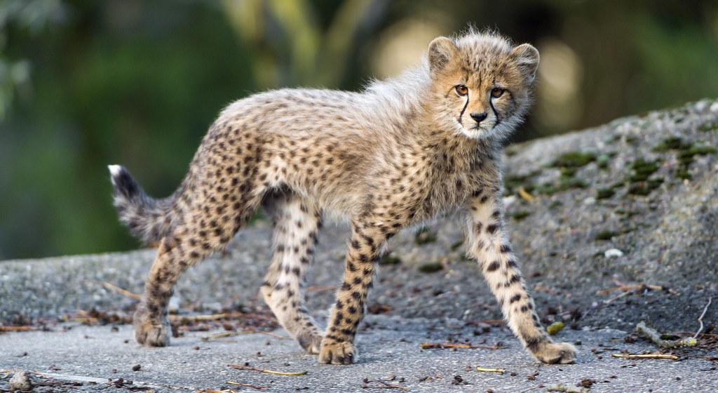 24 Wallpaper Hd Walking Cheetah Cub A Cheetah Cub Walking On The Big
