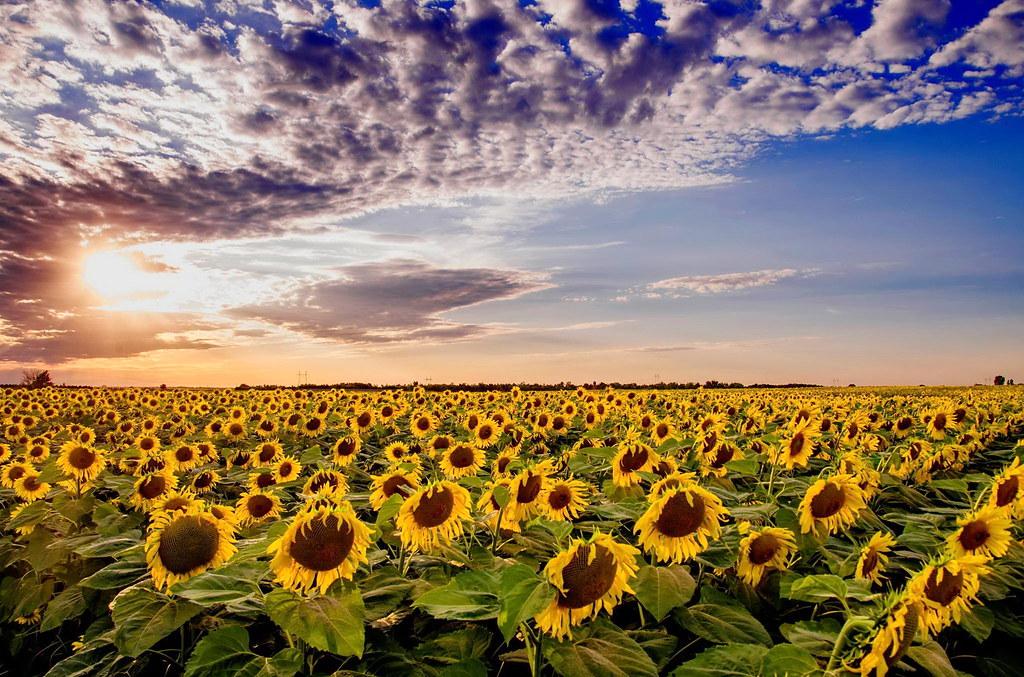3d Sunflower Wallpaper Polje Suncokreta Vojvodina Field Of Sunflowers
