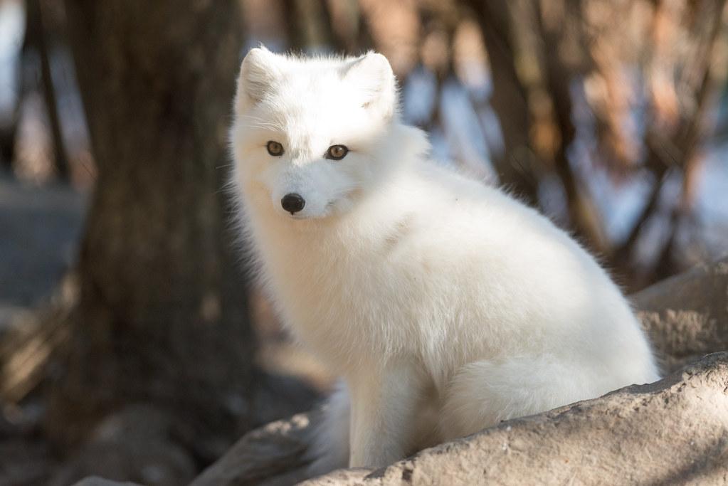 Wallpaper Cute 3d Arctic Fox Full Coat Eric Kilby Flickr