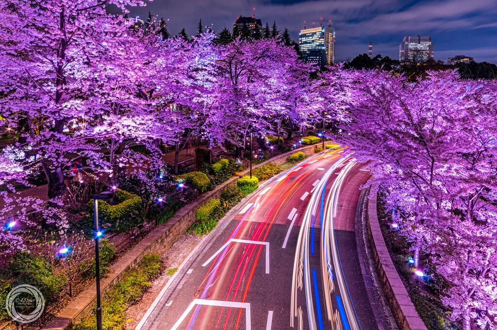 Cherry Blossom Wallpaper Hd Sakura Drive Tokyo Explored April 2nd 2015 A