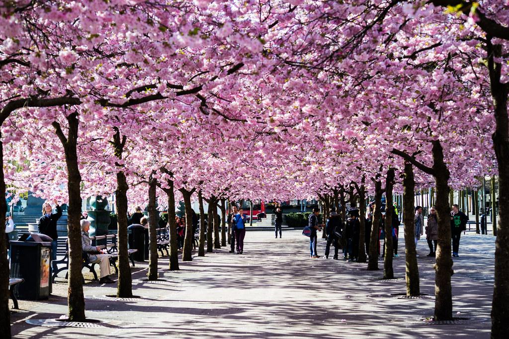 3d Cherry Blossom Wallpaper Stockholm April 24 2015 3m00199 Ulf Bodin Flickr