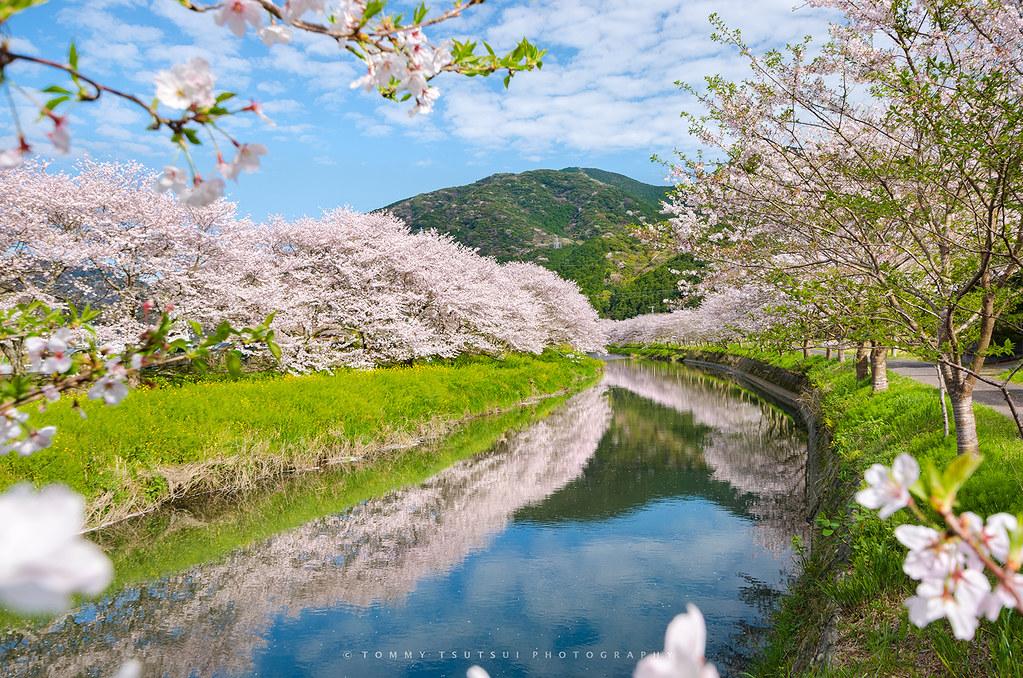 White Flower Wallpaper 3d Japan Spring In Full Bloom Explore Explored 05 Apr
